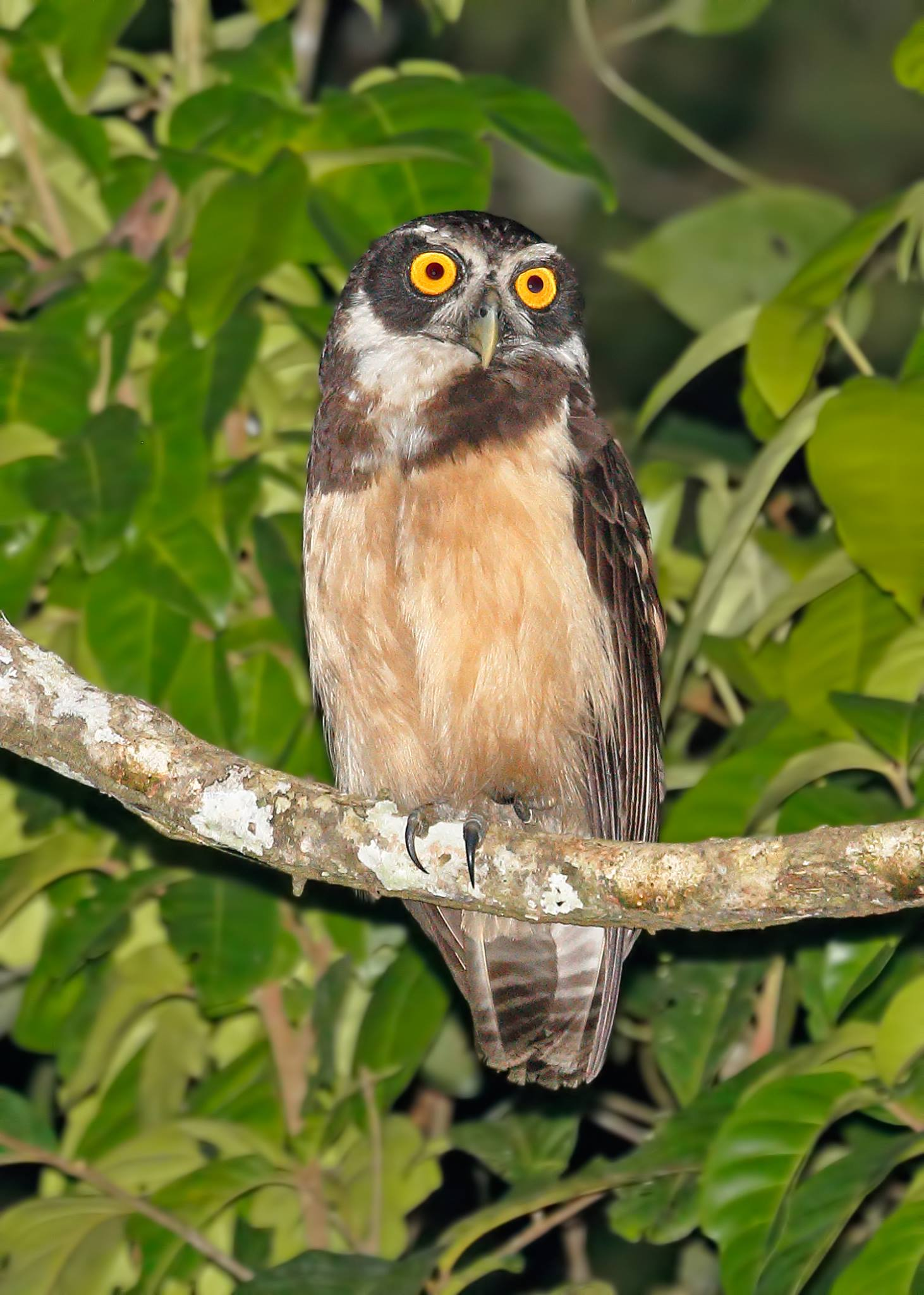Spectacled Owl 2